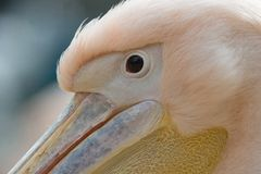Eye close up of white common pelican Stock Photography