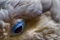 Eye of Cockatoo Royalty Free Stock Photo