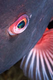 Eye of a colorful fish royalty free stock photo