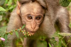 Eye contact with a rhesus macaque in Kerala, India - colour version stock image