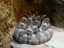 Eye Contact With Black Tailed Rattlesnake. Eye contact with coiled dangerous Black Tailed Ratttlesnake.  Native to Southwestern United States and Mexico stock image