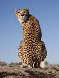 Eye-contact with a cheetah Stock Photo