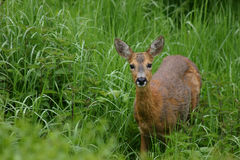 Eye contact with a deer. Deer in high grass and stinging nettles Royalty Free Stock Image