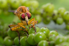 Eye contact dragonfly  on green pepper Stock Photo