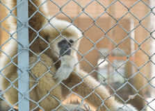 Eye contact from gibbon. Behind the cage Stock Photos