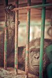 Eye contact from gorilla. Behind the cage Royalty Free Stock Image