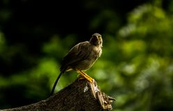 THE EYE CONTACT. EYE CONTACT WITH JUNGLE BABBLER AND THOSE SHINY EYES OF BABBLER.THE OTHER MYSTERIOUS SIDE OF BABBLER royalty free stock images