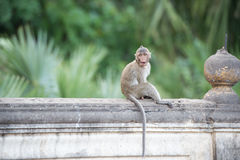 Eye contact monkey sitting on the wall , monkey thailand Stock Photography