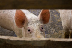 Pig looking through fence. Eye contact with pig looking through fence royalty free stock photos