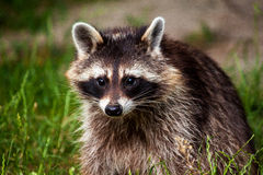 Eye contact. Portrait of common raccoon. Looking at camera Royalty Free Stock Photos
