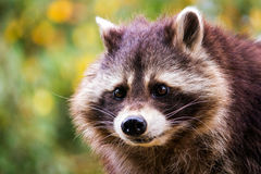 Eye contact. Portrait of common raccoon. Looking at camera Stock Images