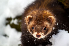 Eye contact. Portrait of little ferret in the snow Royalty Free Stock Photo
