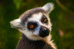 Eye contact. Portrait of ring-tailed lemur. Photogrphy of wildlife Royalty Free Stock Photo
