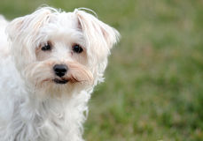Eye Contact with a White Dog Stock Photo