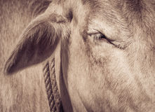 Eye of a cow close up Stock Images