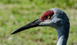 The Eye of the Crane. A close up of the eye and beak of a sandhill crane Stock Image