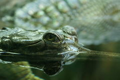 Eye of a crocodile. The Crocodile looking out of water Royalty Free Stock Image