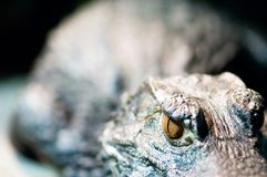 Eye of a crocodile Stock Image