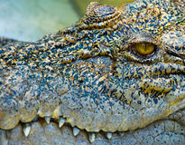 Eye of crocodile. Detail of  crocodile in asia Royalty Free Stock Photo