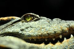 Eye of the crocodile Royalty Free Stock Image