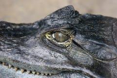 Eye of a crocodile Stock Image