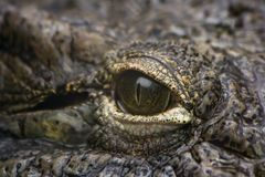 Eye of crocodile in close view Royalty Free Stock Image