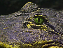 Eye of a crocodile Stock Images