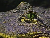 Eye of a crocodile Stock Images