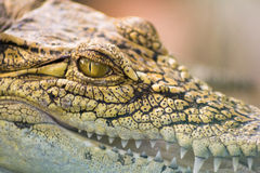 Eye of crocodile stock images