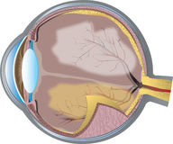 Eye cross-section Stock Photos