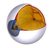 Eye Cross Section Real Human Anatomy - isolated on white Stock Photo