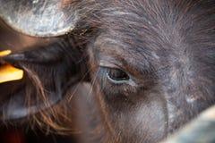 Eye Dairy buffalo Stock Photo