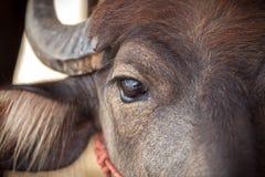 Eye Dairy buffalo Royalty Free Stock Photography