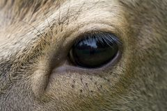 Eye of a deer Royalty Free Stock Images