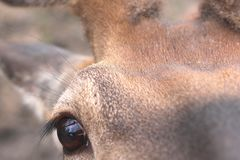Eye of deer looks into camera. Head of young deer close-up royalty free stock image