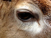 Eye of deer/reindeer Royalty Free Stock Images