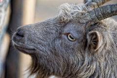 Eye detail of Brown goat sheep while looking at you Stock Images