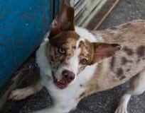 Eye'dhund för två färg Royaltyfri Bild