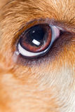 Eye of a dog Stock Image
