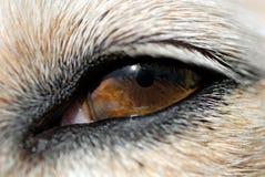 Eye of The Dog Stock Photo