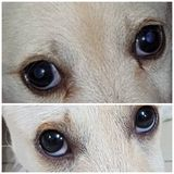 The eye dog royalty free stock photos