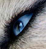 Eye dog Stock Image