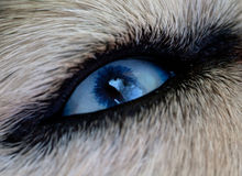 Eye dog Royalty Free Stock Photography