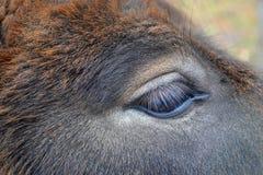 Eye donkey. Eye lashes ass macro animal Stock Photos
