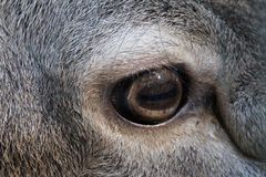 eye of a donkey Stock Photos