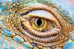 Eye of the dragon. Close-up of the eye of a Green Iguana (Iguana iguana Stock Image
