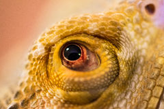 Eye of the Dragon. This is my bearded dragon close up. I wanted to take a few macro pictures of my bearded dragon, because the textures in the scales and body of Royalty Free Stock Photo