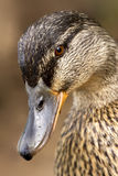 Eye of a duck. A close up of little a brown duck royalty free stock photos