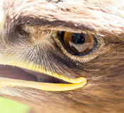 The eye of an eagle in nature Royalty Free Stock Photos