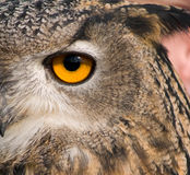 Eye of eagle owl. Close up of Eye of eagle owl with reflections Stock Photo